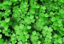Lucky four leaf clovers