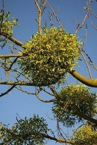 Mistletoe growing on tree