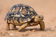 tortoise symbolize good luck