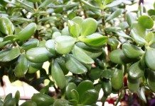 Jade plant lucky