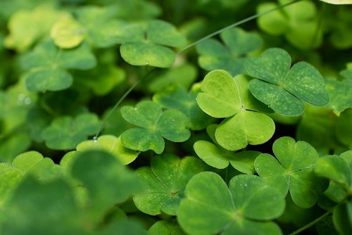 four leaf clover meaning and symbolism