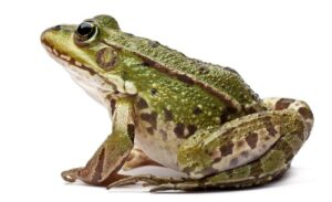 lucky frog meaning symbolism