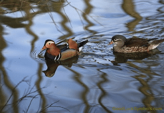 Mandarin duck and drake