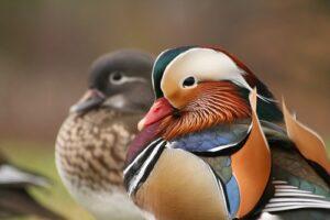 Mandarin ducks lucky love symbol