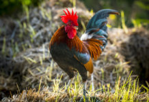 rooster symbolism