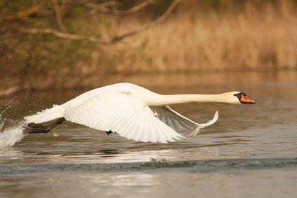 swan legend