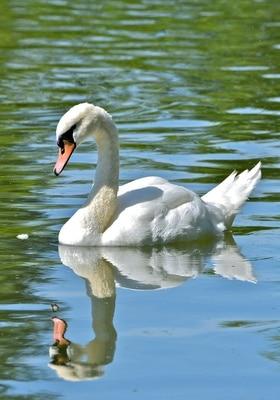 Swan-symbolism.jpg