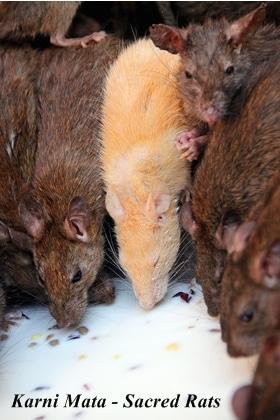 Karni Mata sacred rats