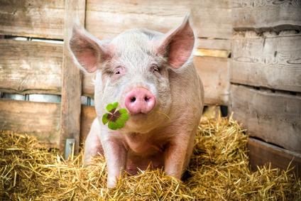 pigs good luck