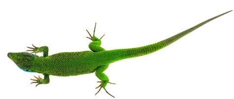 Green lizard superstition