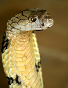 king kobra snake India