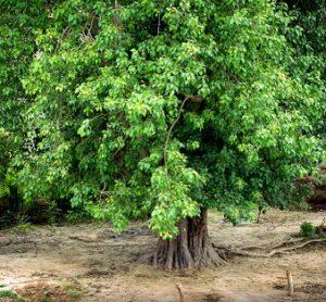 Peepal tree superstition India