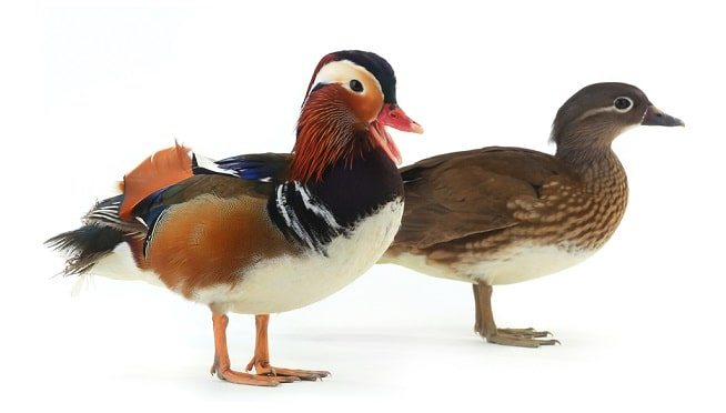 Mandarin ducks symolize love
