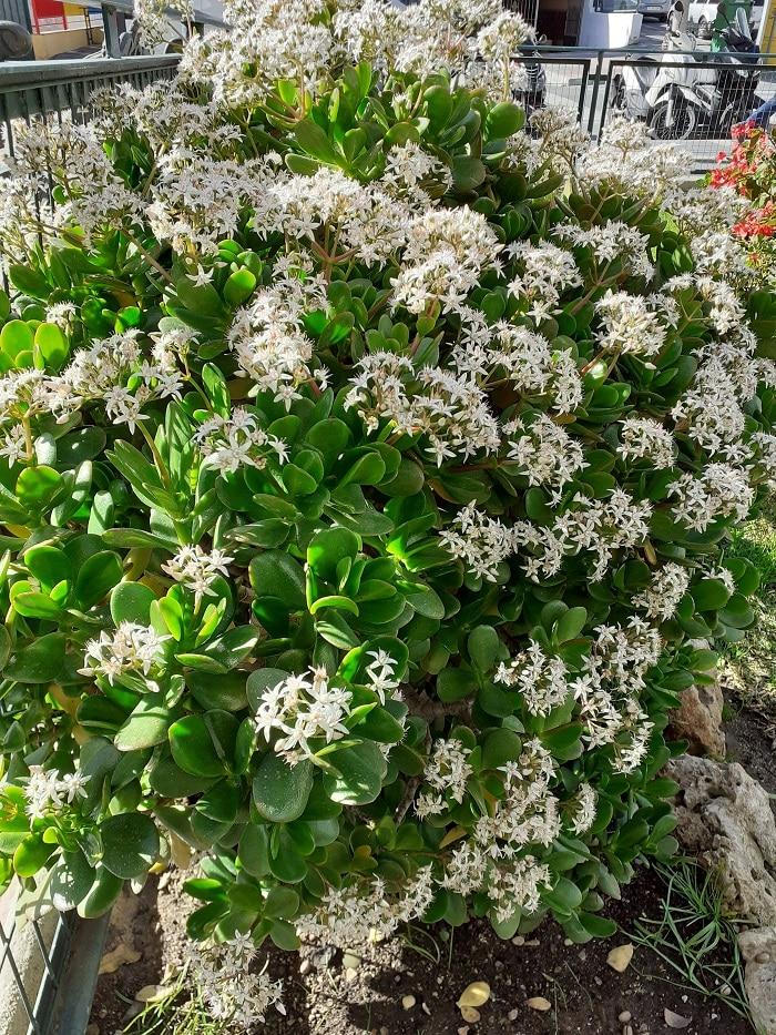 Jade Plant blooming in Spain
