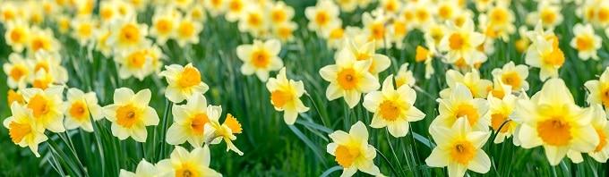 daffodil symbolism